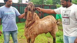 Shera Punjabi of Extreme Goat Farm by Mr. Ashraf Ali