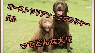 ペットで犬を飼おうと迷っている方へ〜オーストラリアン・ラブラドゥー...
