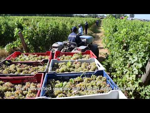 wine article A look at Grape harvest in the Curico Valley Chile