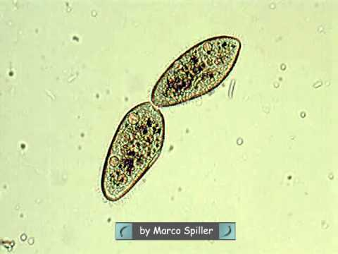 How do bacteria reproduce asexually by binary fission video