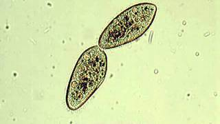 Paramecium - binary fission