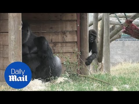 Hilarious moment cheeky gorilla decides taunt his dad!