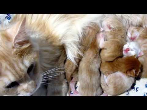 CatsReal #11 Newborns Maine Coons