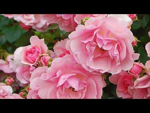 Как поливать розы?