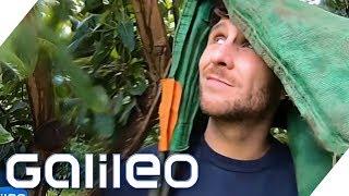 Der harte Job als Avocadopflücker | Galileo | ProSieben