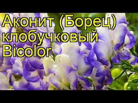 Аконит клобучковый Биcолор. Краткий обзор, описание характеристик aconitum napellus Bicolor