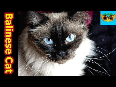 Balinese cat Information