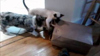 6 Month Old Cardigan Welsh Corgi Puppy Playing With Cats