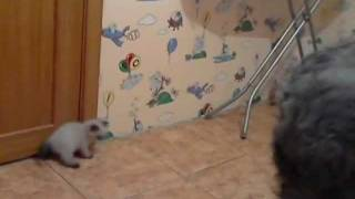 Котята гималайской кошки (персидский колор-пойнт).