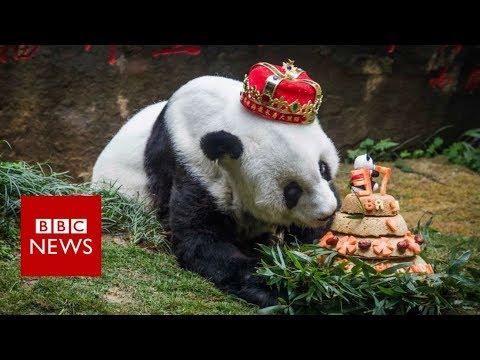 World's oldest giant panda dies aged 37- BBC News