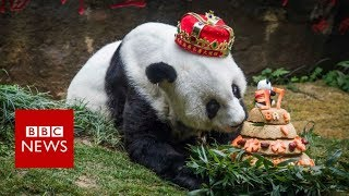 World's oldest giant panda dies aged 37- BBC News