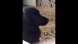 Собака воет на сирену из Сайлент Хилла