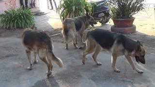 Раз овчарка, два овчарка, третий лишний(собаки)