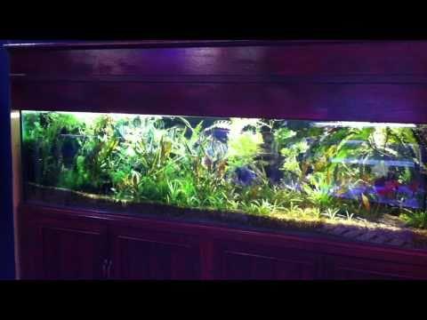 Aquarialand's Peruvian Altum Display Aquarium