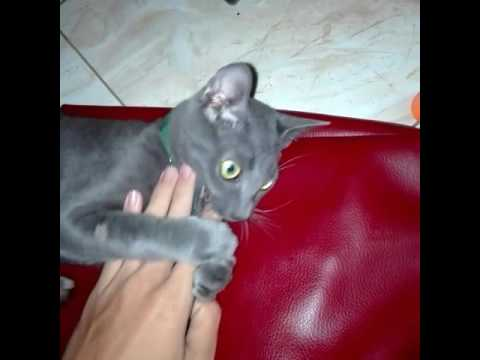 Russian Blue Cat - Gray is bitting me, part 2