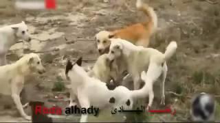 حيوانات مفترسة لا ترحم | اخطر معارك قتال حيوانات كلاب ضالة | fighting dogs