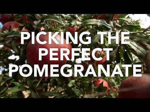 Picking the Perfect Pomegranate