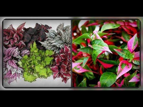 Комнатные цветы с красивыми, выразительными листьями