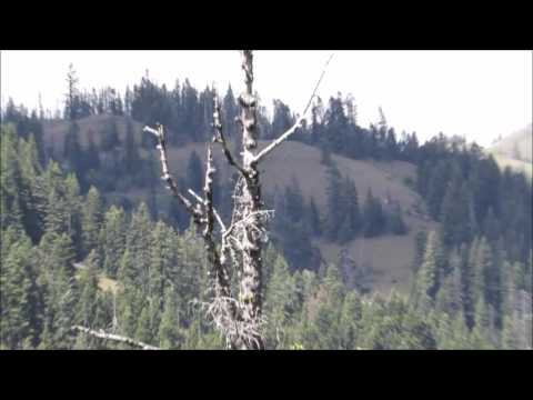 Father & Son Observe Bigfoot While Packing an Elk Blue Mountains Washington