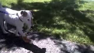 Limping Dog