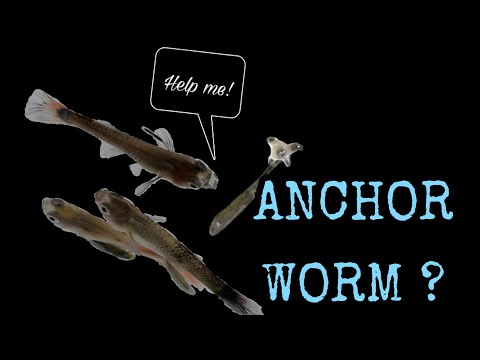 How To; Treat Anchor Worm On Your Fish , The Cheapest Way