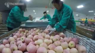 как выращивают яблоки в китае этот