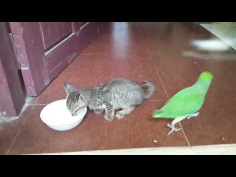 Cutest ever... Parrot and Kitten meeting for the first time