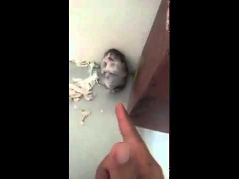 Chuột giả chết.mp4