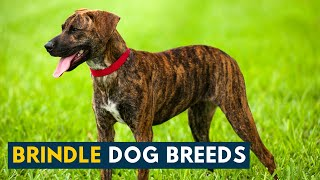 Brindle Dog Breeds: 9 Beautiful Dogs with The Iconic Tiger Striped Coat!