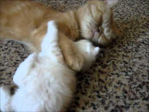 Домашний любимец, короткошерстный кот-экзот, снупи