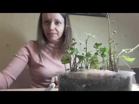 Обрезка ростков батата, сорта батата, слипы батата, когда сажать батат