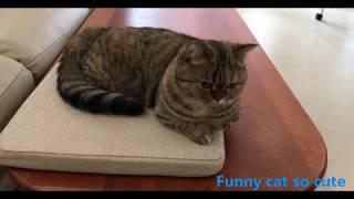 Funny cat so cute 丨 Munchkin Cat  Very alert cat丨TOP cat
