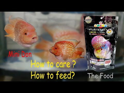 Short Body FlowerHorn, How To Care? What To Feed ? Monster Fish, #shortbody Flower Horn, #flowerhorn