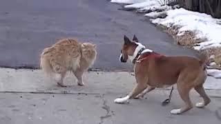 Дерзкий и неустрашимый кот против злой собаки