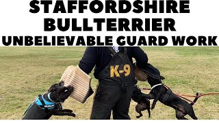 Staffordshire Bullterrier unbelievable guard work!  DogCastTV!