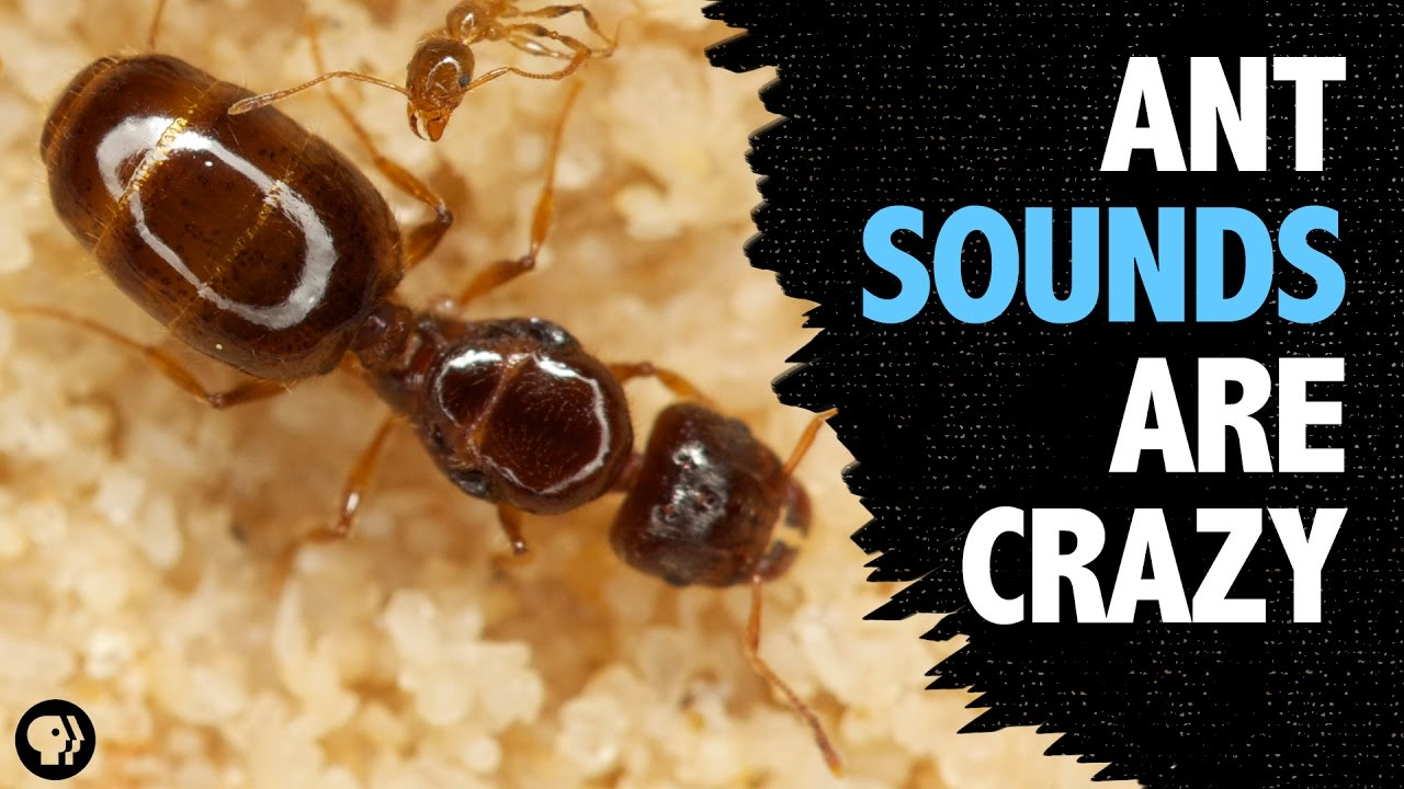 what-sound-does-an-ant-make