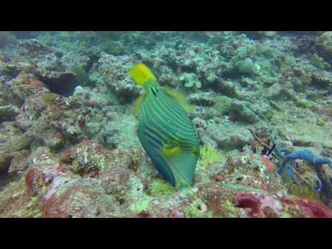 Kuderah Tilla Titan and Reef Triggerfish
