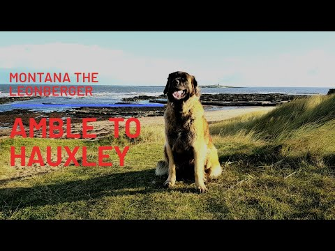 LEONBERGER DOG | AMBLE TO HAUXLEY WALK | NORTHUMBERLAND WALKS #leonberger #englandcoastalwalk #dog