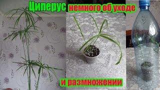 Комнатное растение Циперус  (Cyperus) немного об уходе и размножении. 3-я часть