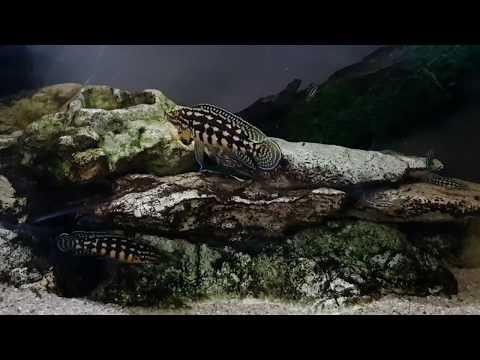 Julidochromis Marlieri VS Ancistrus