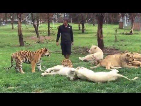 Adamı Leoparın Saldırısından Kaplan Kurtarıyor