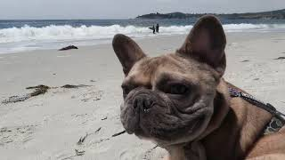 We Took our French Bulldog to the Beach For the 1st Time