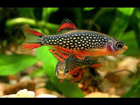 рыбка галактика фото