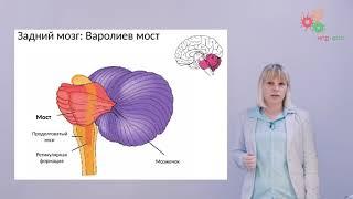 Физиология человека и животных. Анатомия ЦНС (Зыбина А. М.)