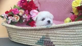 ビションフリーゼ 女の子 29.2.19生 ピンクの首輪.