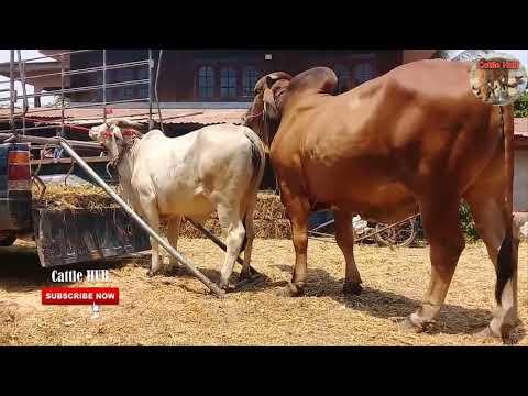 Good Breeding Bull Mating Cow 2019