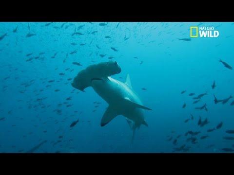 Un requin marteau en pleine chasse prioximit de for Comment dessiner un requin marteau