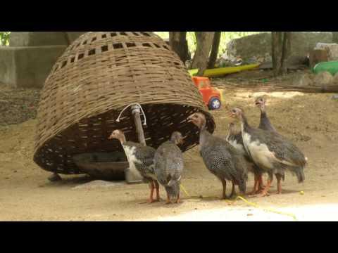Awesome Quick Bird Trap in My Village - Homemade Best Bird Traps