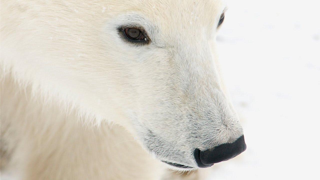 Please Bear With Me Soon Theyll Leave >> Polar Bear Facts Conservation Polar Bears International