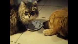 Daisy The Persian Cat And Cali The Golden Retriever Dog Having Lunch